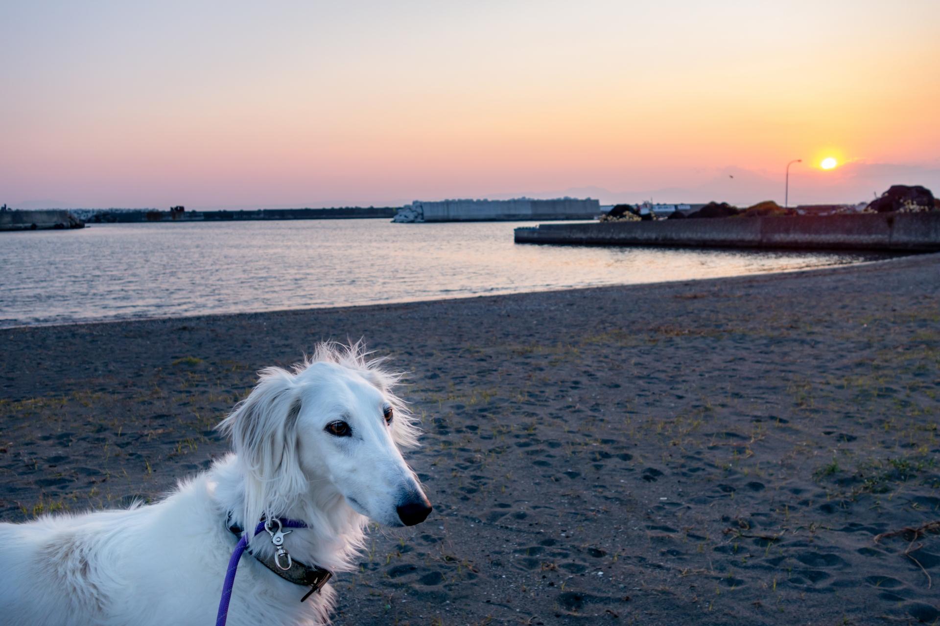海辺を散歩する犬