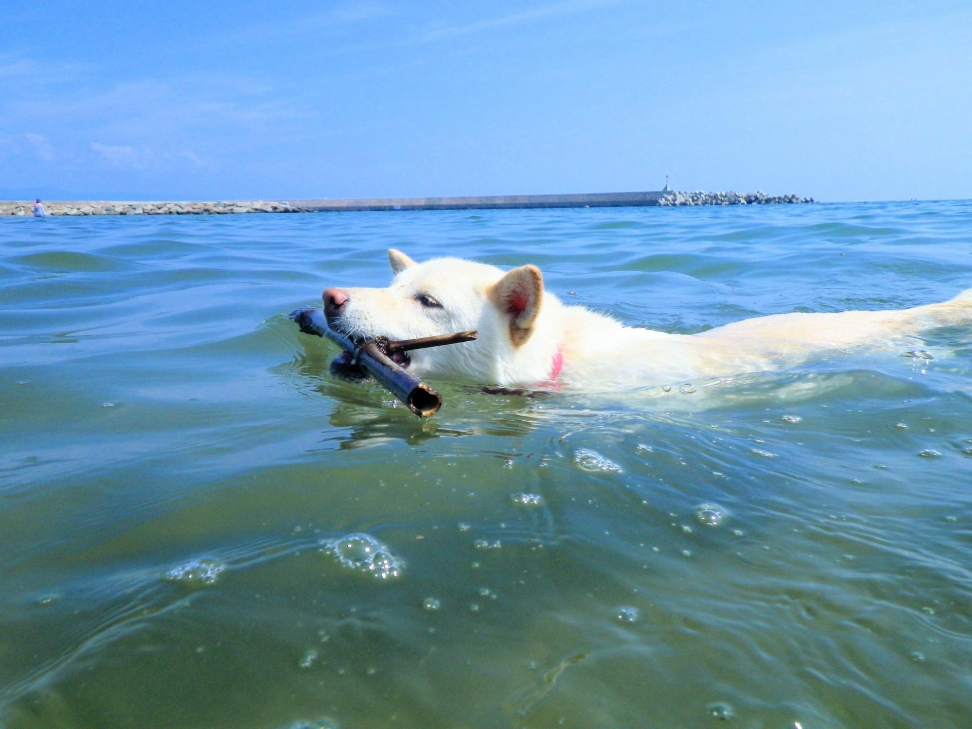 枝を咥えて泳ぐ犬