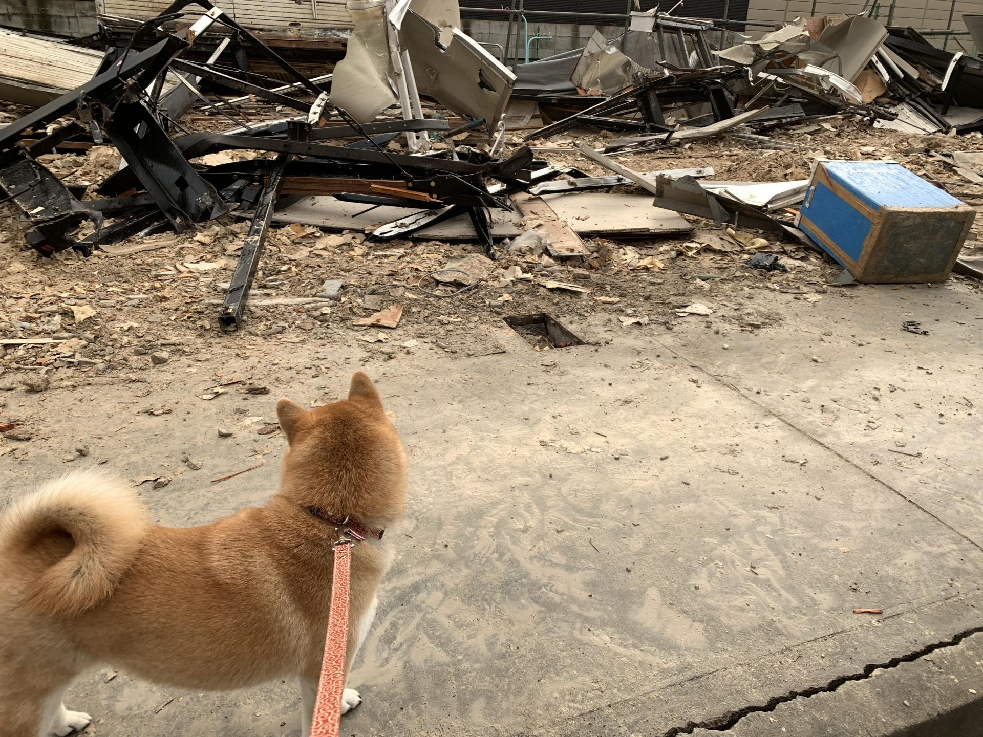被災直後に散歩する犬