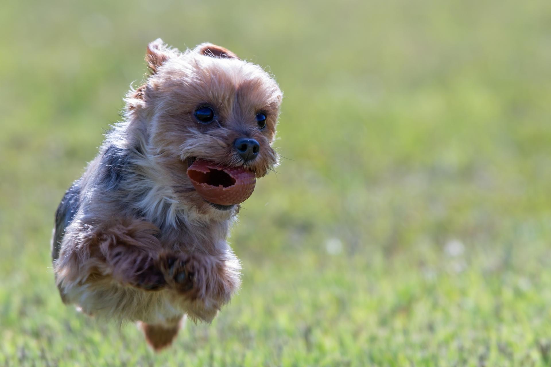 ボールを咥えて走る犬