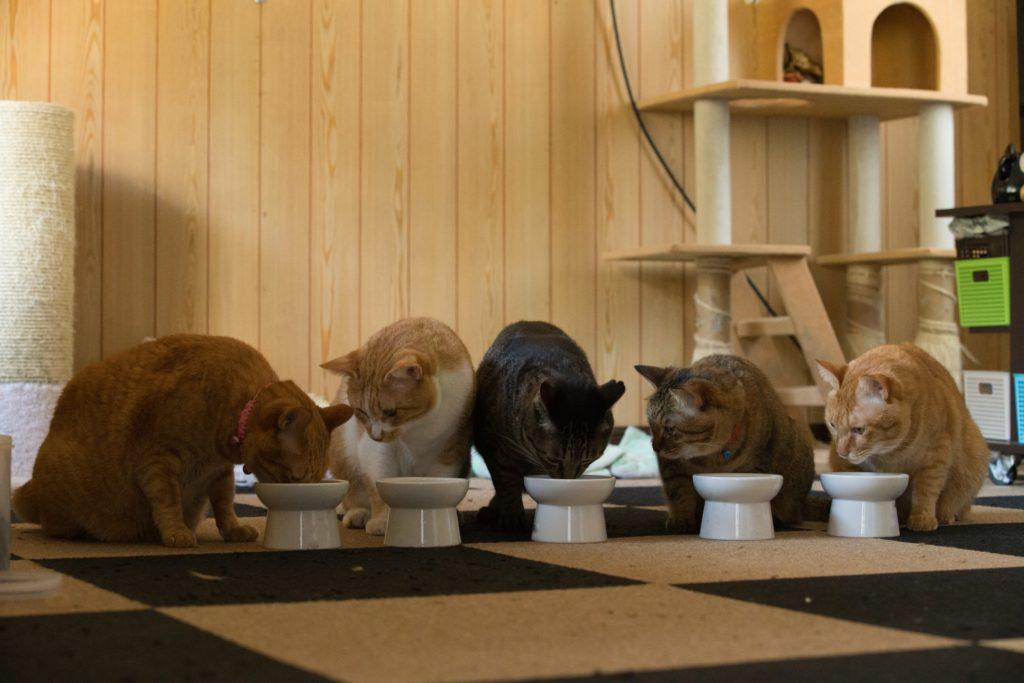 隣のご飯が気になる猫