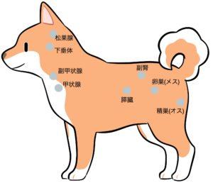 犬の内分泌腺