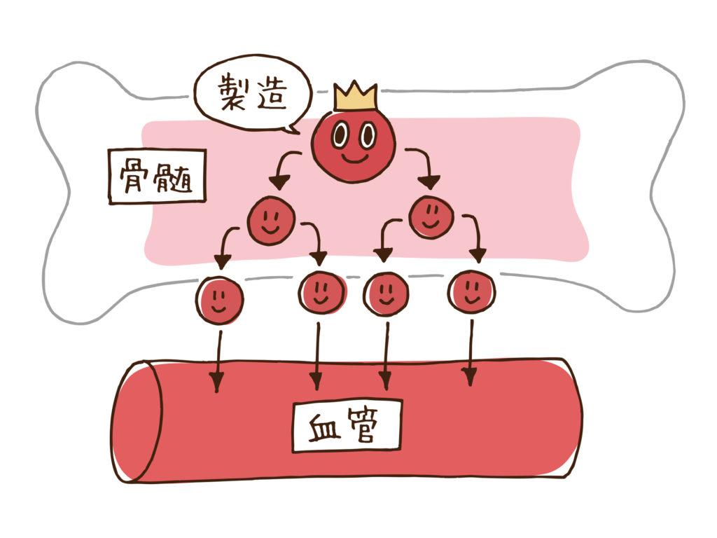 骨髄で血液が作られるイメージ図