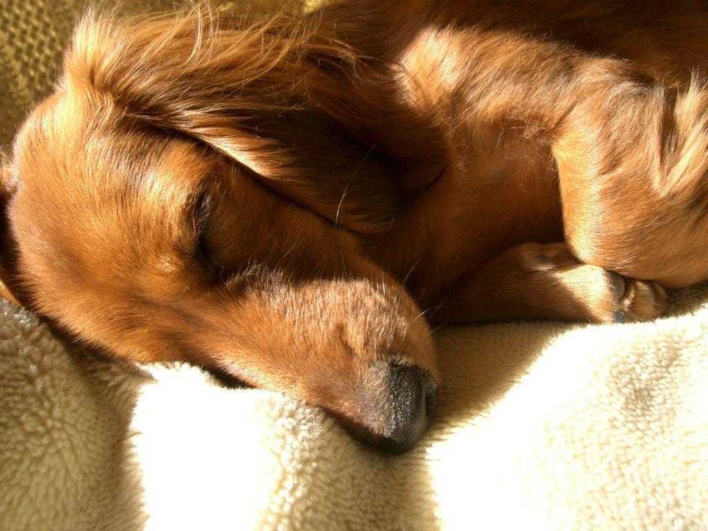 眠っているダックスフンド