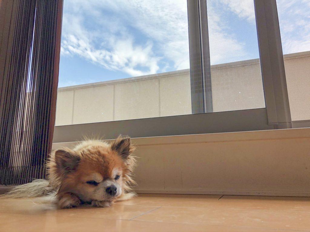 窓辺で微睡む犬