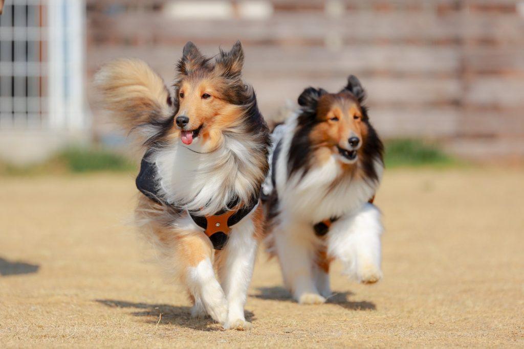 ドッグランで走る犬たち